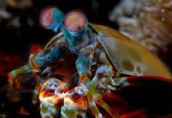 Mantis Shrimp from lembeh strait, North Sulawesi by Iman Brotoseno