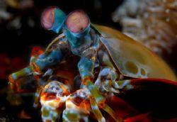 Mantis Shrimp from lembeh strait, North Sulawesi by Iman Brotoseno