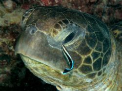 Turtle & cleanerfish, Heron Island by Peter Simpson