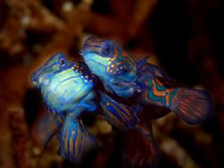 Mandarin fish from lemberh strait, north sulawesi.. by Iman Brotoseno