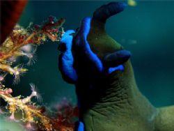 Deep Blue Nudi by Alex Bonvin