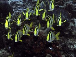 A school of Porkfish posing for a portrait - Paseo De Ced... by James Ridgway