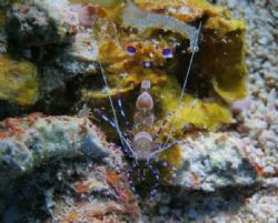 Spotted cleaner shrimp, La Pared Parquera PR. OLYMPUS 350... by Osvaldo Deleon