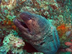 A really big Giant Moray,next to the unknown wreck at Blu... by Ian Palmer