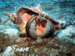 Giant Hermit Crab with sealife cd200 camera by Pedro Hernandez