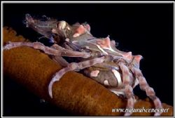 I'm not an expert but this Xeno crab look pregnant to me ... by Yves Antoniazzo