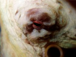 the octopus eyelooks at you  Rinca, Komodo, Canibal Rock by Alex Bonvin