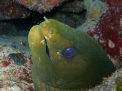 nice green eel in steps dive site at parguera wall....... by Victor J. Lasanta Garcia