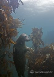 Hanging around. Grey seal, Farne Islands, Oct 06. D200 ... by Mark Thomas