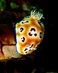 Nudi...taken with Canaon S80 by Zafarol Lokman