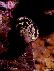This photo of a Chainlink Moray was taken in Cozumel in 2... by Steven Anderson