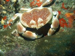 Camera dc310 sealife,batwing coral crab.palmas del mar hu... by Pedro Hernandez