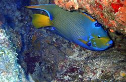 Queen Angelfish, island of mona Puerto Rico,camera dc310. by Pedro Hernandez