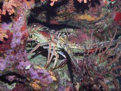 lobster by Reece Zunino