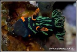 It's food o'clock for this Dusky Nembrotha 350D/105 by Yves Antoniazzo