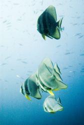 Batfish, Bali, 2005. by Chris Wildblood