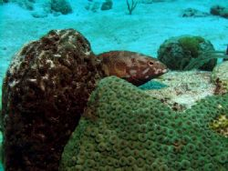 Coney sitting in his 'nest' - Paradise Reef, Cozumel - Ni... by James Ridgway