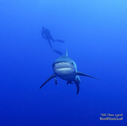 Bull Shark passing under diver- looks like a fighter plane! by Fiona Ayerst