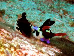 Nudibranch mating, Anilao Batangas Philippines, Oly 3000Z... by Luigi Abad Santos