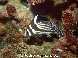Spotted Drum,Humacao Puerto Rico,Camera DC310 by Pedro Hernandez