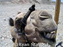 Mohammed my camel on a dive safari from Dahab in the Sina... by Ryan Stafford