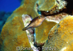 Juvenille in Cozumel by Jonathan Pardys