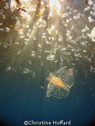 swarm of jellyfish, ctenophores and salps by Christine Huffard