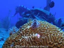 christmas trees in a brain coral head with the engine of ... by Victor J. Lasanta Garcia
