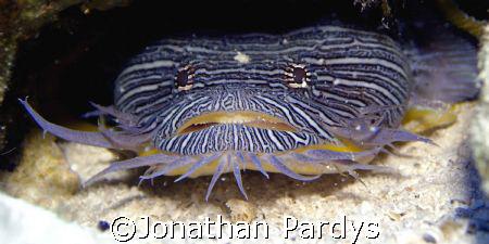 Splendid Toadfish in Cozumel by Jonathan Pardys