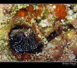 Aden Blenny..................Canon G7 & Inon UCL 165 macr... by Brian Mayes