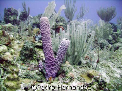 Brown Tube Sponge.Humacao Puerto Rico.Camera DC 310 by Pedro Hernandez