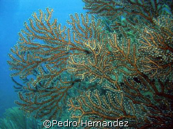 Deep Water Sea Fan.Humacao Puerto Rico .Camera DC200 by Pedro Hernandez