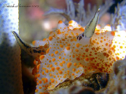 Nudi portrait taken at Similan Islands with a E900+ cu le... by Patrick Neumann