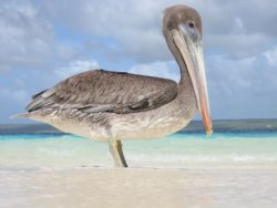 Pelican, shot (not down) on Klein Bonaire, Canon A20 in h... by Piet Kramer