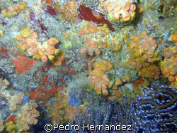 Orange Cup Coral,Palmas Del mar Puerto rico,Camera Dc310 by Pedro Hernandez