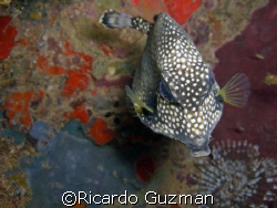 Up Close and Personal: Curious trunkfish off the western ... by Ricardo Guzman