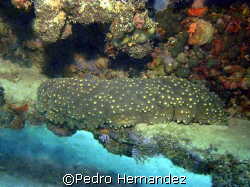 Three- Rowed Sea Cucumber,Aguadilla Puerto Rico,Camera DC... by Pedro Hernandez
