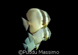 three batfish,maldives,nikon d2x,12-24mm. by Puddu Massimo