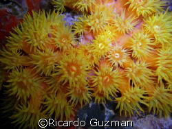 Cup coral at night; lamp as strobe. Crashboat, Aguadilla. by Ricardo Guzman