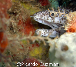 Peek-a-boo: juvenile moray smiles for the camera in Crash... by Ricardo Guzman