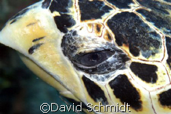 Wise old Turtle by David Schmidt