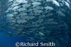 Schooling Bigeye Trevally on the Drop off, Sipadan by Richard Smith