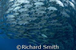 Schooling Bigeye Trevally on the Drop off, Sipadan by Richard Smith