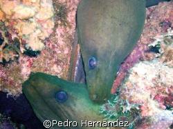 Green Moray , Parguera Puerto Rico,Camera DC500 by Pedro Hernandez