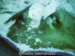 Roughtail Stingray,Palmas Del mar Humacao, Puerto Rico,Ca... by Pedro Hernandez