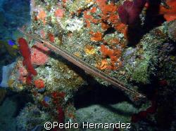 Trumpetfish,Palmas Del Mar Humacao, Puerto Rico,Camera DC310 by Pedro Hernandez