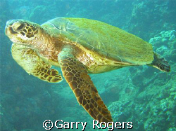 """I'm Free"" green sea turtle in Honalua Bay, Maui taken wi... by Garry Rogers"