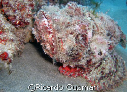 Just don't tread on me! A scorpion fish probably wonderin... by Ricardo Guzman