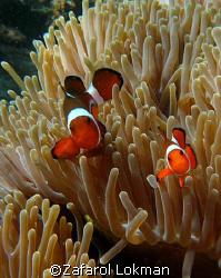 Nemo again free posing..look at the smile!!! taken in Per... by Zafarol Lokman