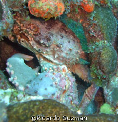 King of Pain: A king crab stares me down at La Parguera. by Ricardo Guzman